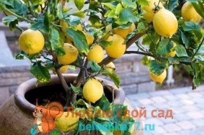 Как вырастить лимон из косточки: плодоносящий лимон дома — это реально!