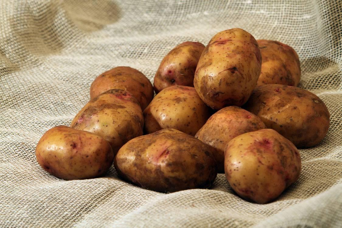 Когда сажать картошку – 2 срока
