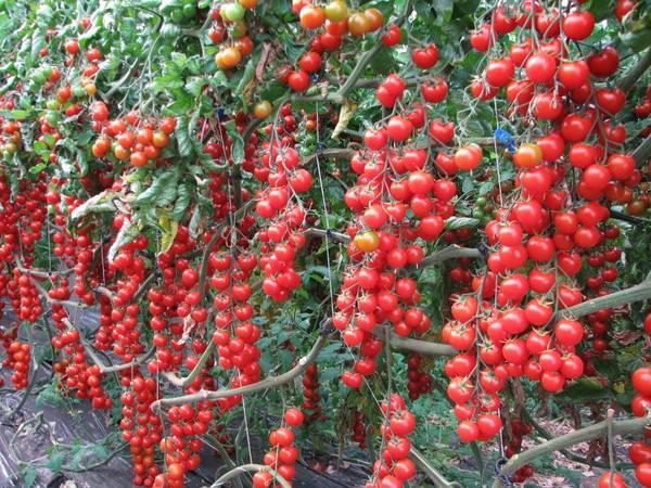 Как вырастить помидоры черри на подоконнике или балконе