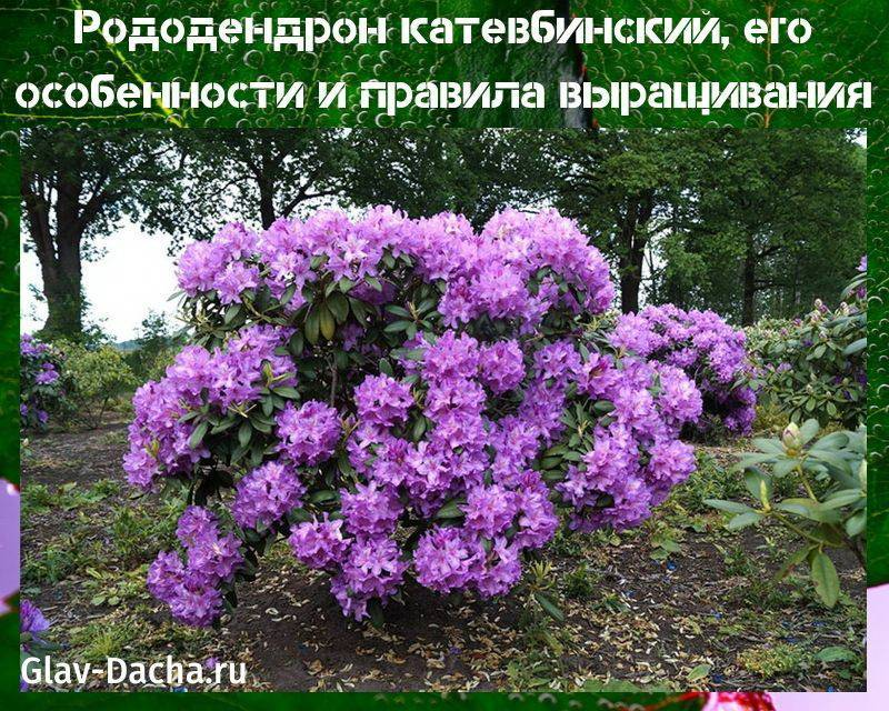 Рододендрон катевбинский гландифлорум - посадка и уход