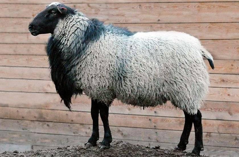 Романовская порода овец: разведение и характеристика