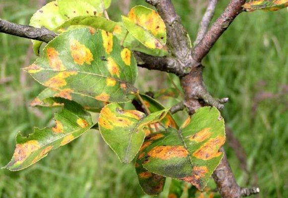 Как лечить грушу от ржавчины: средства обработки, чтоб избавиться от пятен на листьях