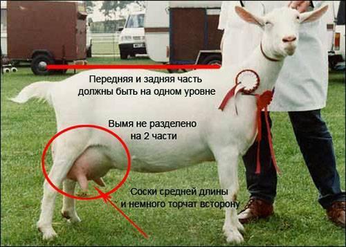 Какие бывают незаразные болезни коз: симптомы и лечение