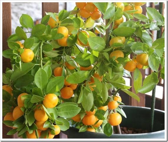 Выбираем цитрусовые растения