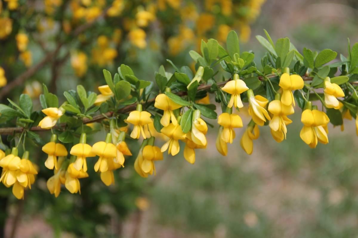 Посадка, размножение и уход за желтой акацией. живая изгородь из акации