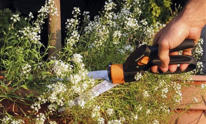 Цветок алиссум: посадка и уход в открытом грунте, фото, выращивание из семян