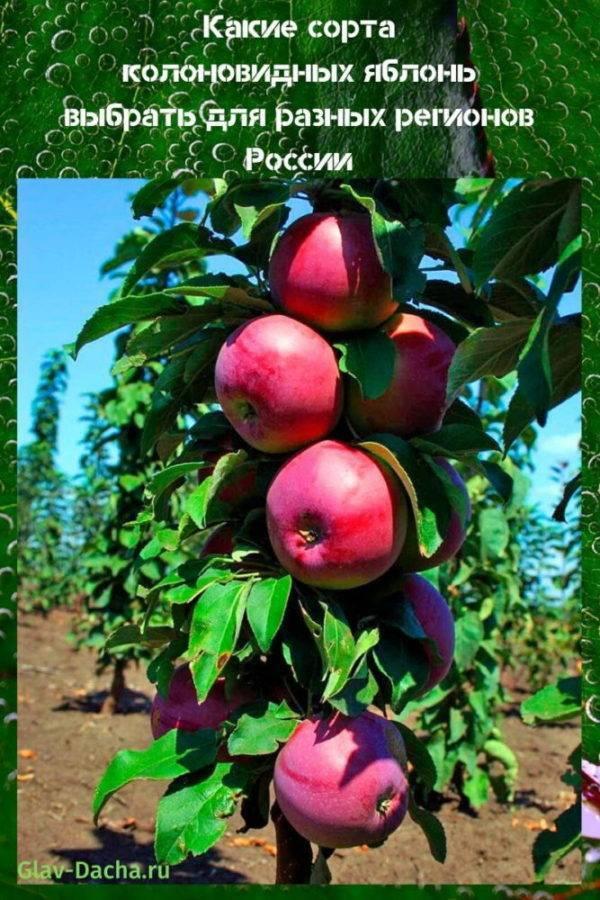 Сорта колоновидных яблонь для Подмосковья, средней полосы