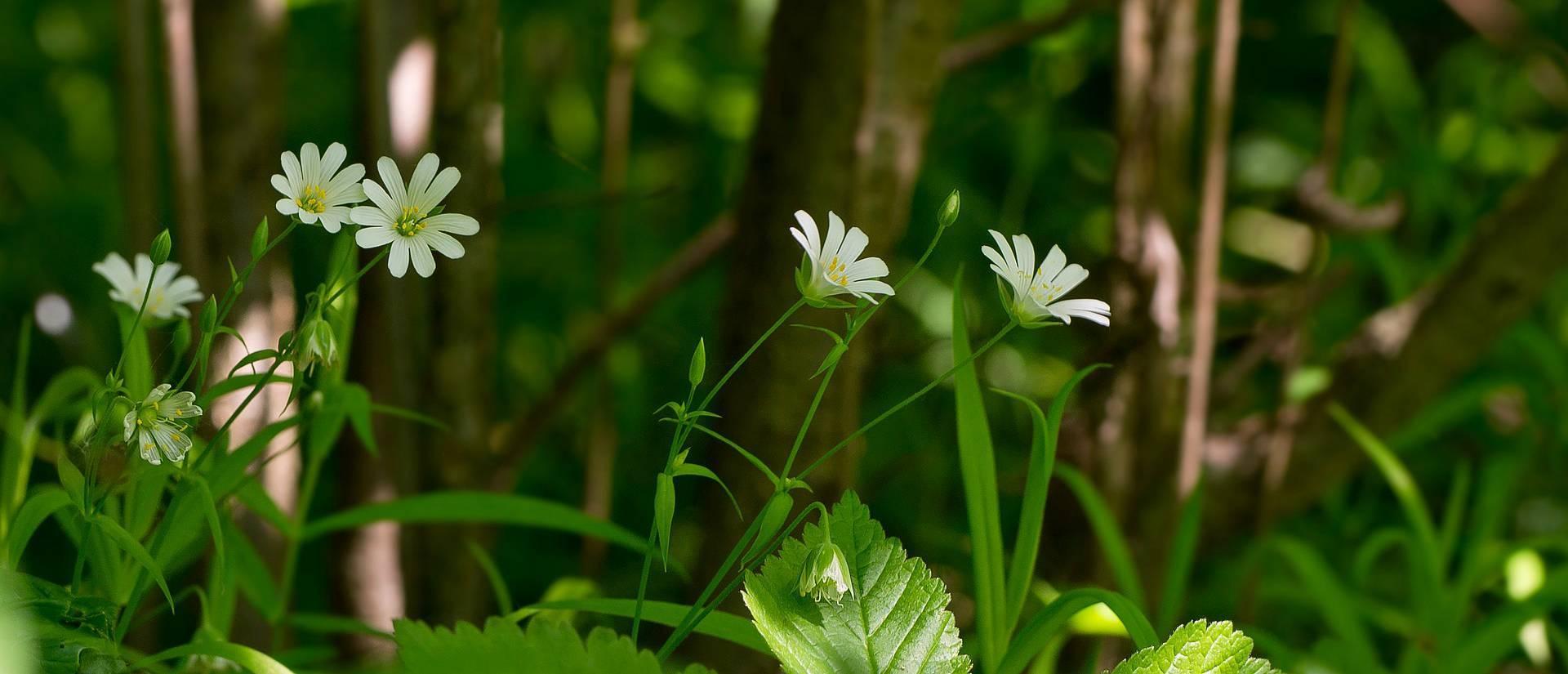 Растение звездчатка лечебные свойства