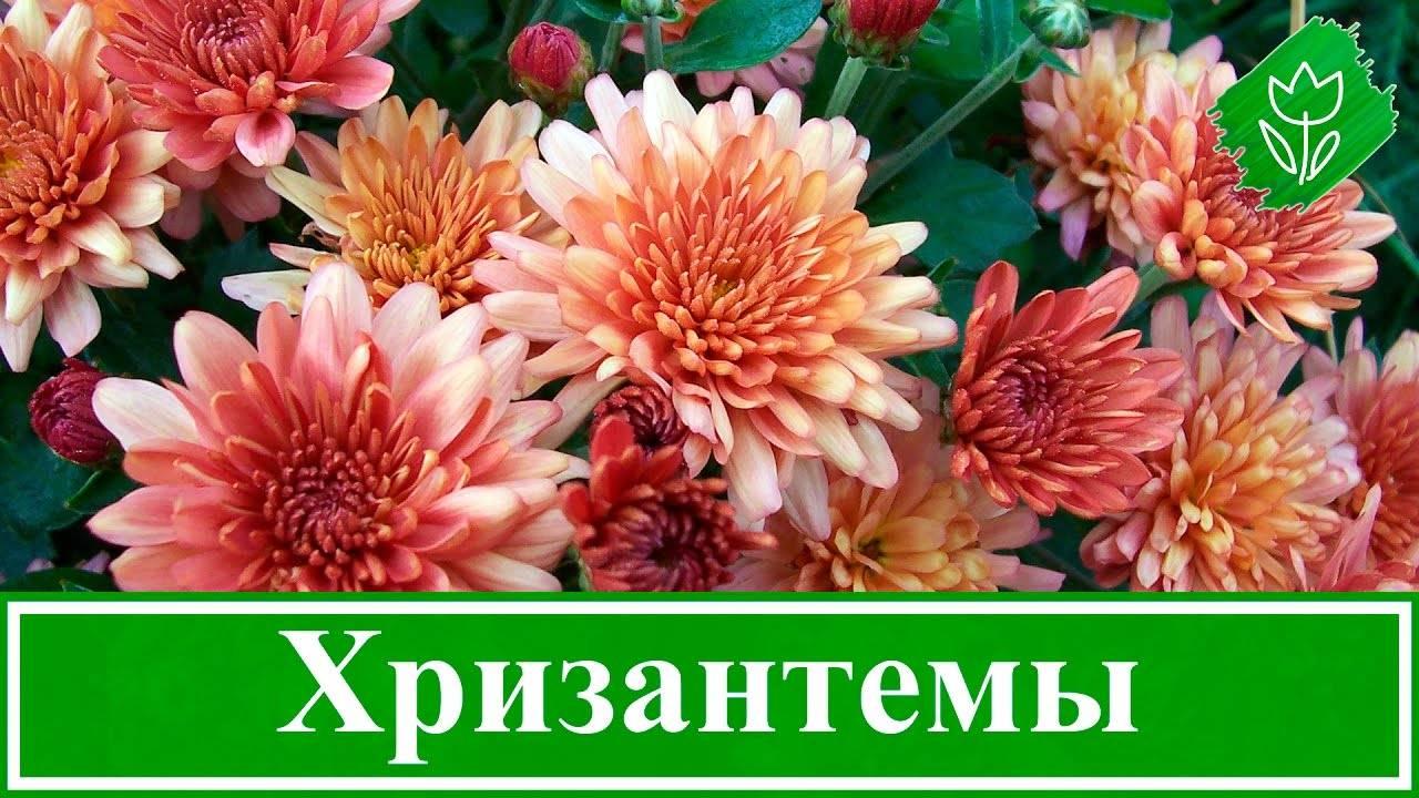 Как выращивать хризантемы дома из семян - видео
