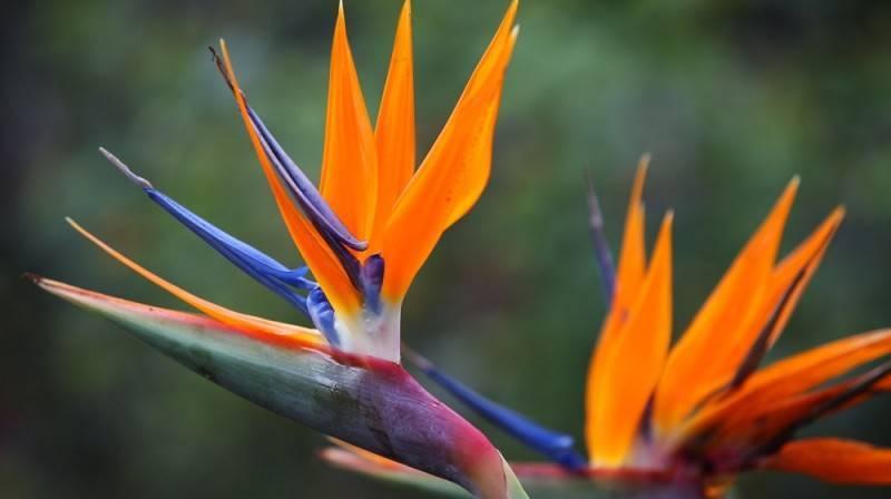 «райская птица» в вашем доме: выращивание стрелиции королевской