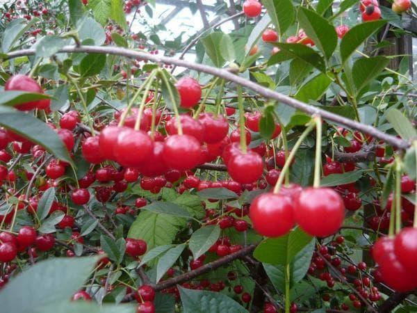 Все, что нужно знать о сорте тургеневская вишня