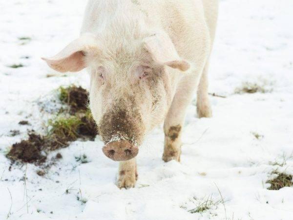 Вьетнамские свиньи — правила содержания, варианты разведения и выращивания в домашних условиях (90 фото)