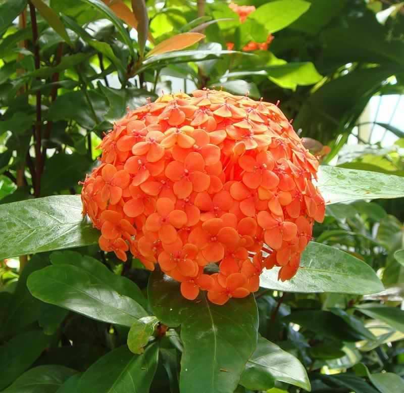 Иксора цветок - посадка и уход, виды, фото, видео