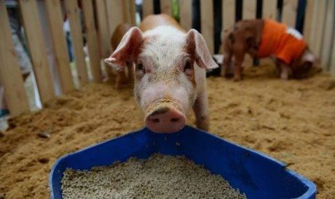Суточные нормы кормления свиней