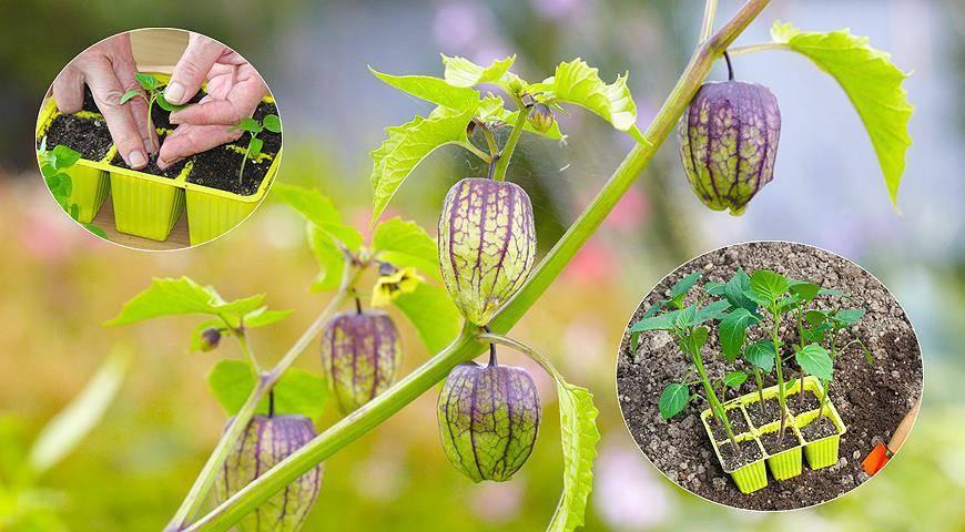 Посев семян физалиса: как вырастить яркую и вкусные ягоды, похожие на фонарики?