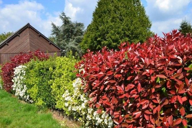Виды растений для живой изгороди