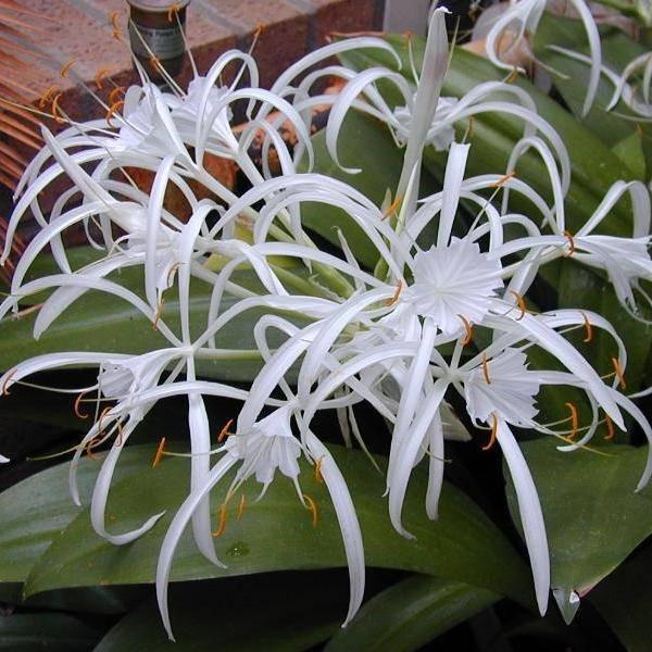 Цветы для дома: как производить уход за гименокаллисом