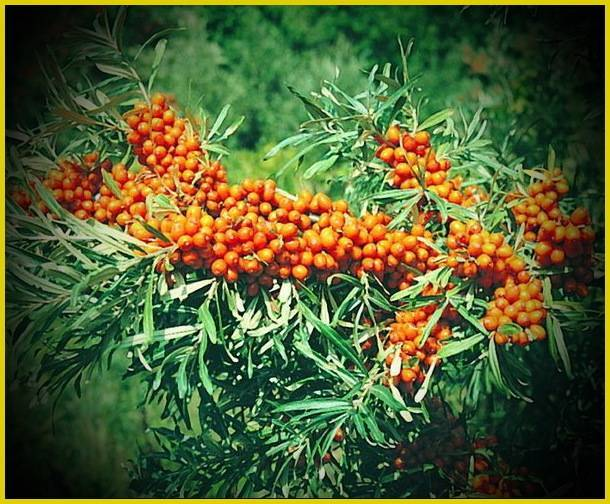 Облепиха в саду: секреты выращивания и размножения