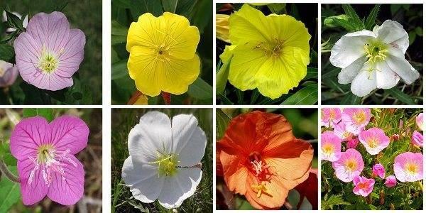 Низкорослые цветущие многолетние и однолетние цветы на клумбе