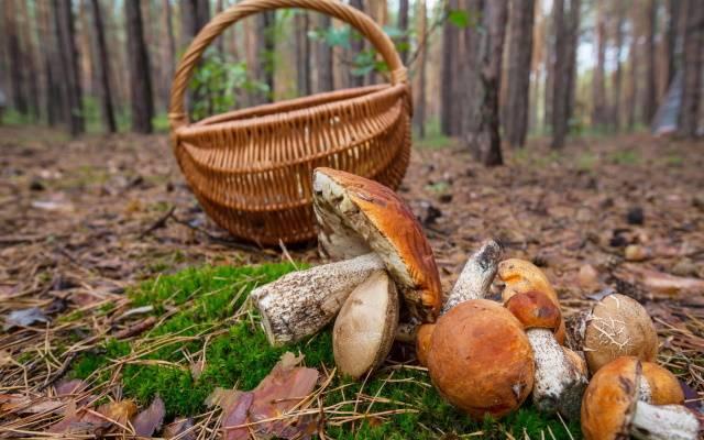 Полезная информация для начинающих грибников о правилах сбора грибов