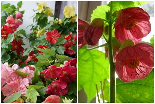 Комнатный клен абутилон выращивание из семян и уход в домашних условиях фото разновидностей