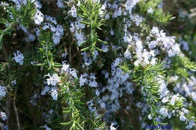 Посадка розмарина на рассаду и в открытый грунт: выращивание и уход