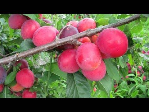 Садовое дерево слива – посадка и уход