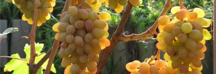 Виноград фуршет. советы по выращиванию и характеристики винограда сорта фуршетный