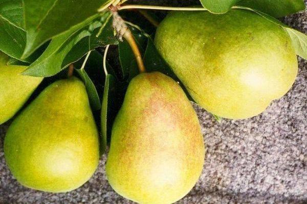 Особенности выращивания груши сорта «северянка»