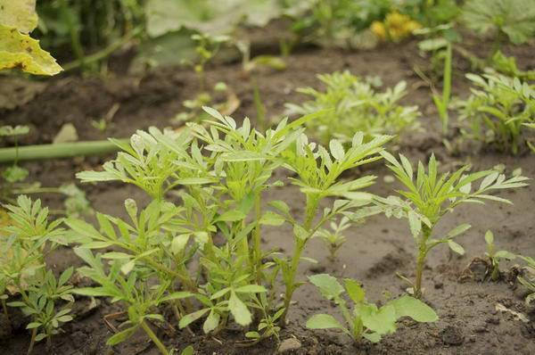Бархатцы: выращивание семенами в открытом грунте