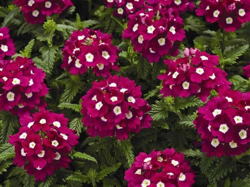 Секреты выращивания вербены из семян и размножения цветка черенками в домашних условиях