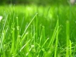 Виды газонной травы — обзор самых лучших трав для газона