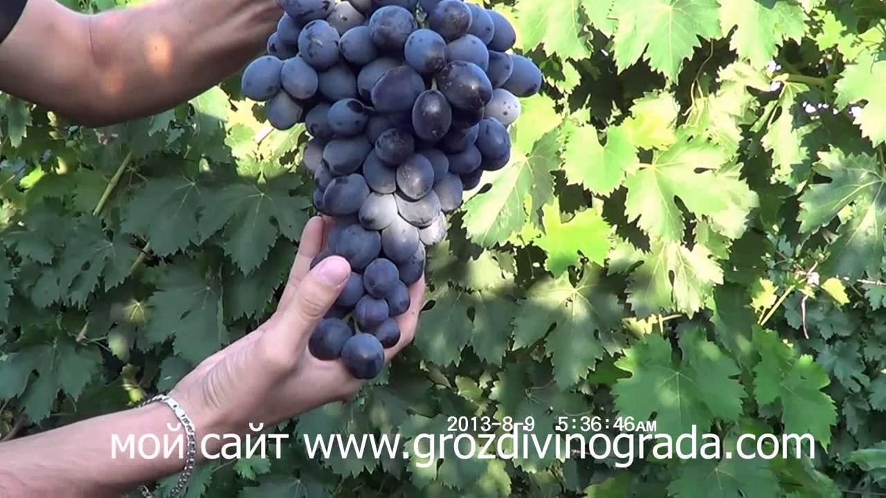 Описание и особенности винограда сорта фуршетный