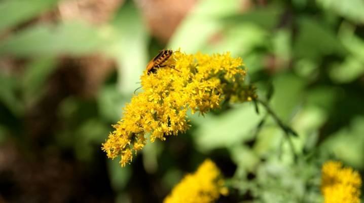 Низкорослые растения для живой изгороди и бордюра