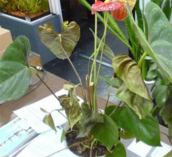 Реанимируем гибнущее растение антуриум. как спасти антуриум? остался пенек с листьями антуриум засох что делать