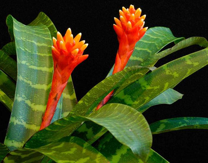 Какой уход нужен гузмании для цветения в домашних условиях?