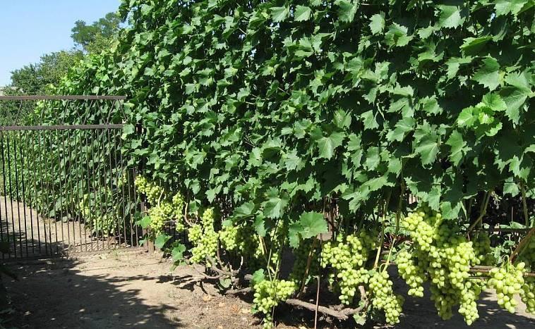 Как сделать шпалеры для виноградника своими руками — размеры