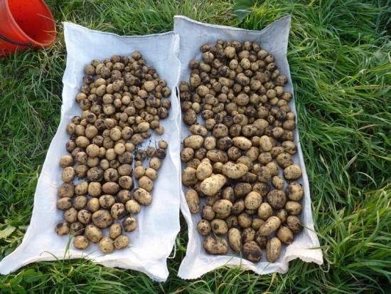 Лучшие сидераты для картофеля: какие выбрать, рекомендации как сеять