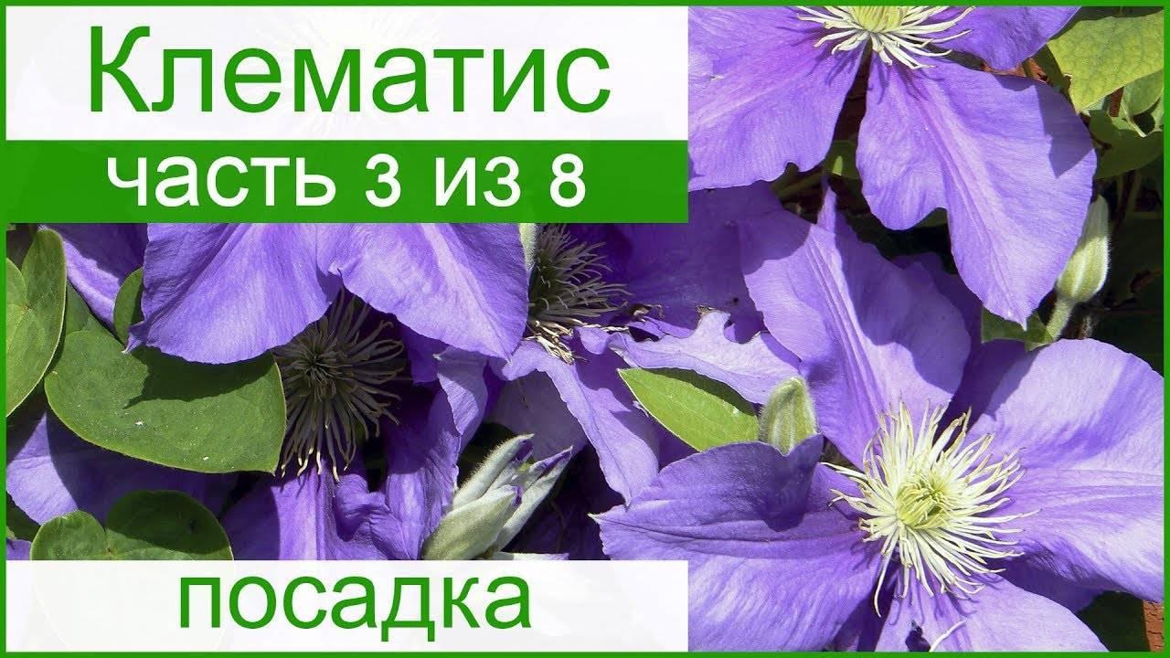Клематисы осенью: посадка, пересадка, уход, обрезка и подготовка к зиме
