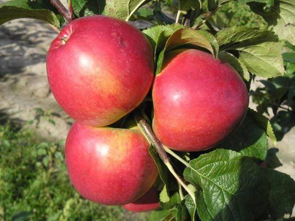 Яблоня медуница: фото и описание сорта
