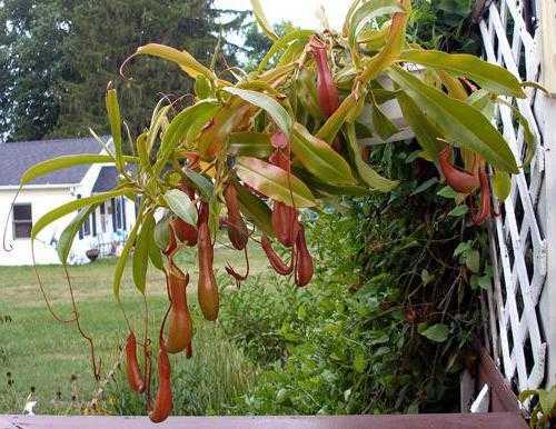 Хищный непентес в природе и дома: виды растения и уход за цветком в комнатных условиях