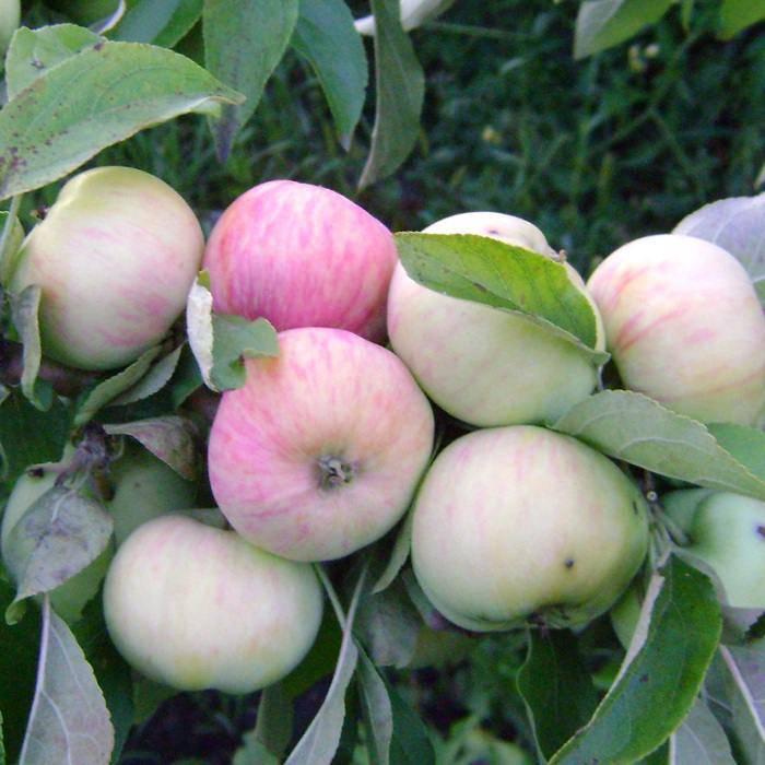Амарант овощной — описание сорта