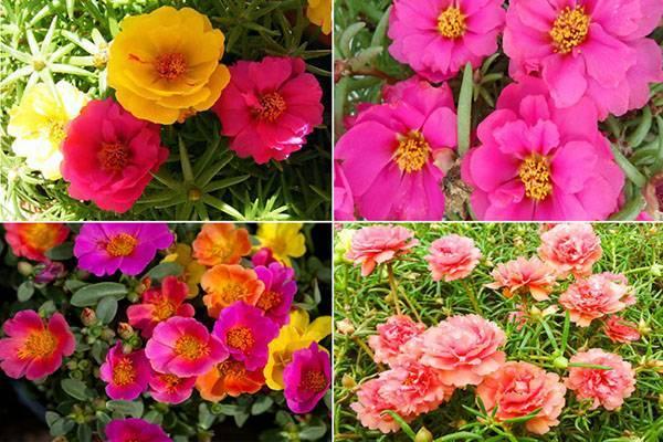 Виды и сорта портулака - огородный, махровый, крупноцветковый, видео
