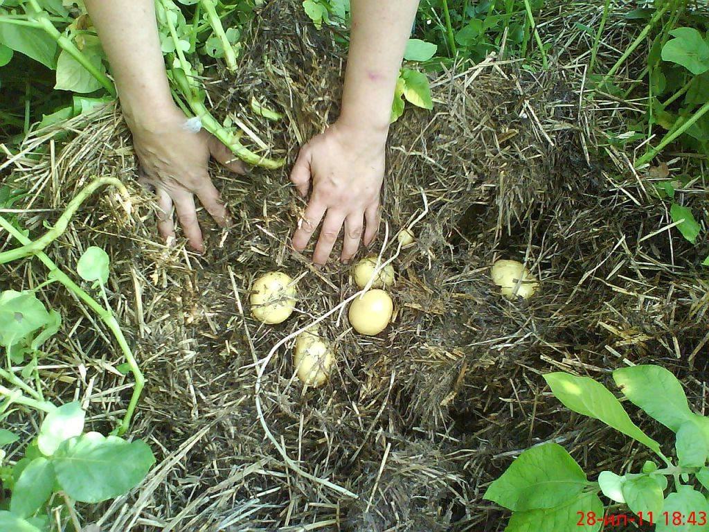 Картошка, выращенная по старой русской традиции: под соломой или на ней