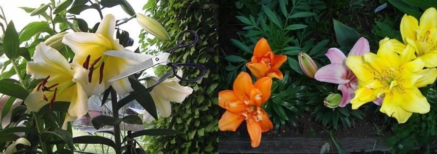 Посадка лилий осенью: когда лучше пересаживать и как правильно выполнять высадку