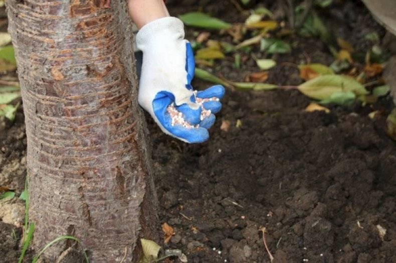 Как посадить грушу? все тонкости ухода за плодовым деревом