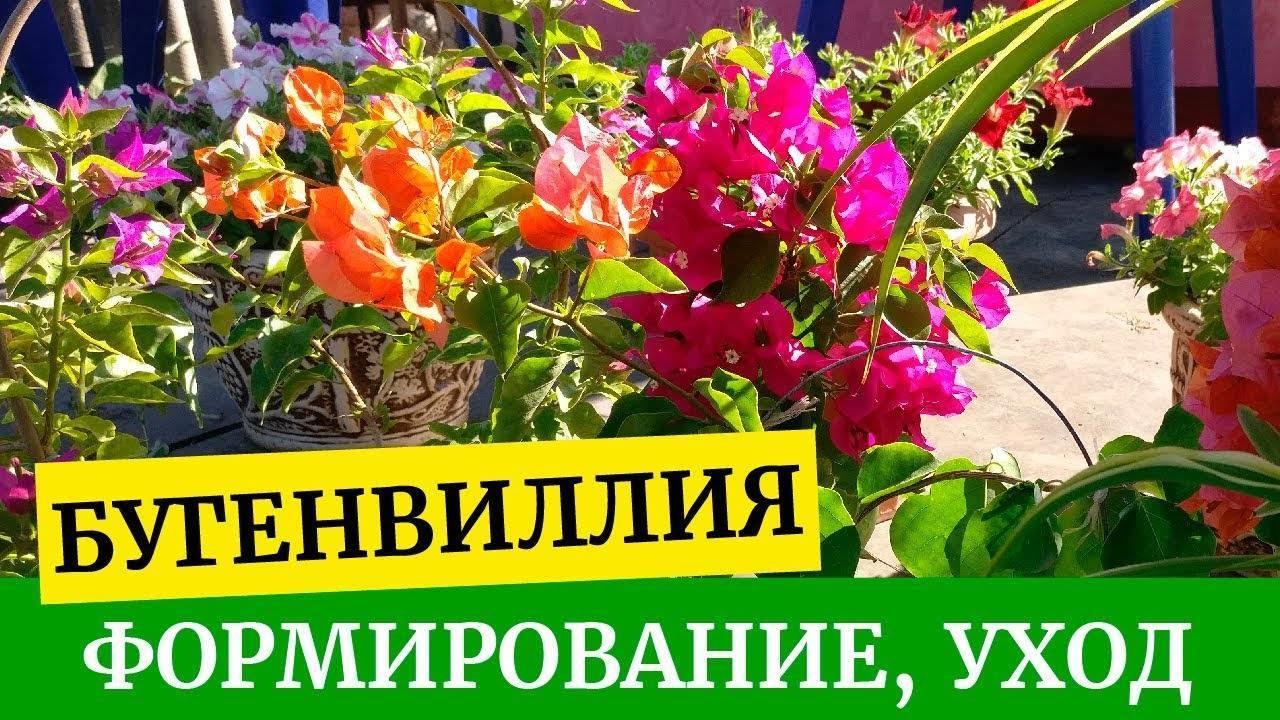 Бугенвилия комнатная (bougainvillea) и бугенвиллия для сада: сорта на фото