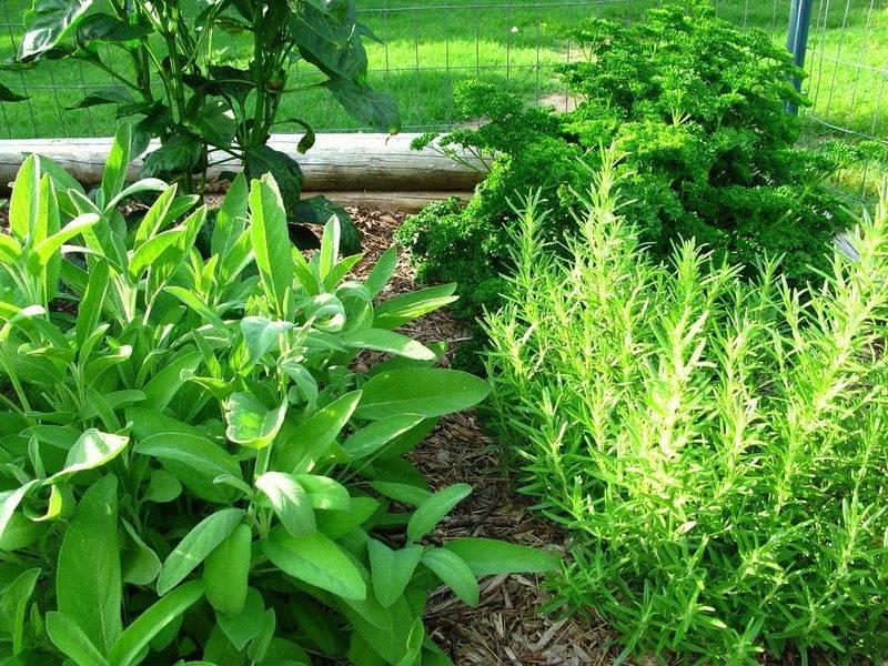 Женьшень – выращивание из семян, посадка в саду