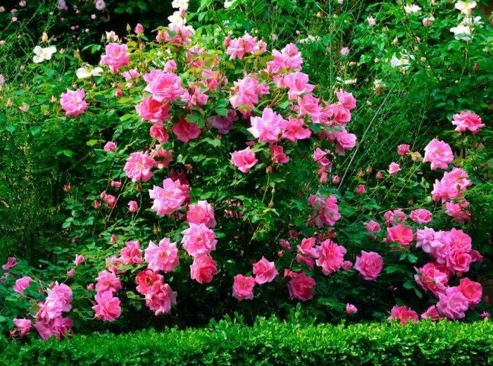 Весенняя пересадка многолетних садовых цветов – делаем правильно