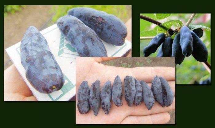 Самые сладкие и крупные сорта жимолости для сибири